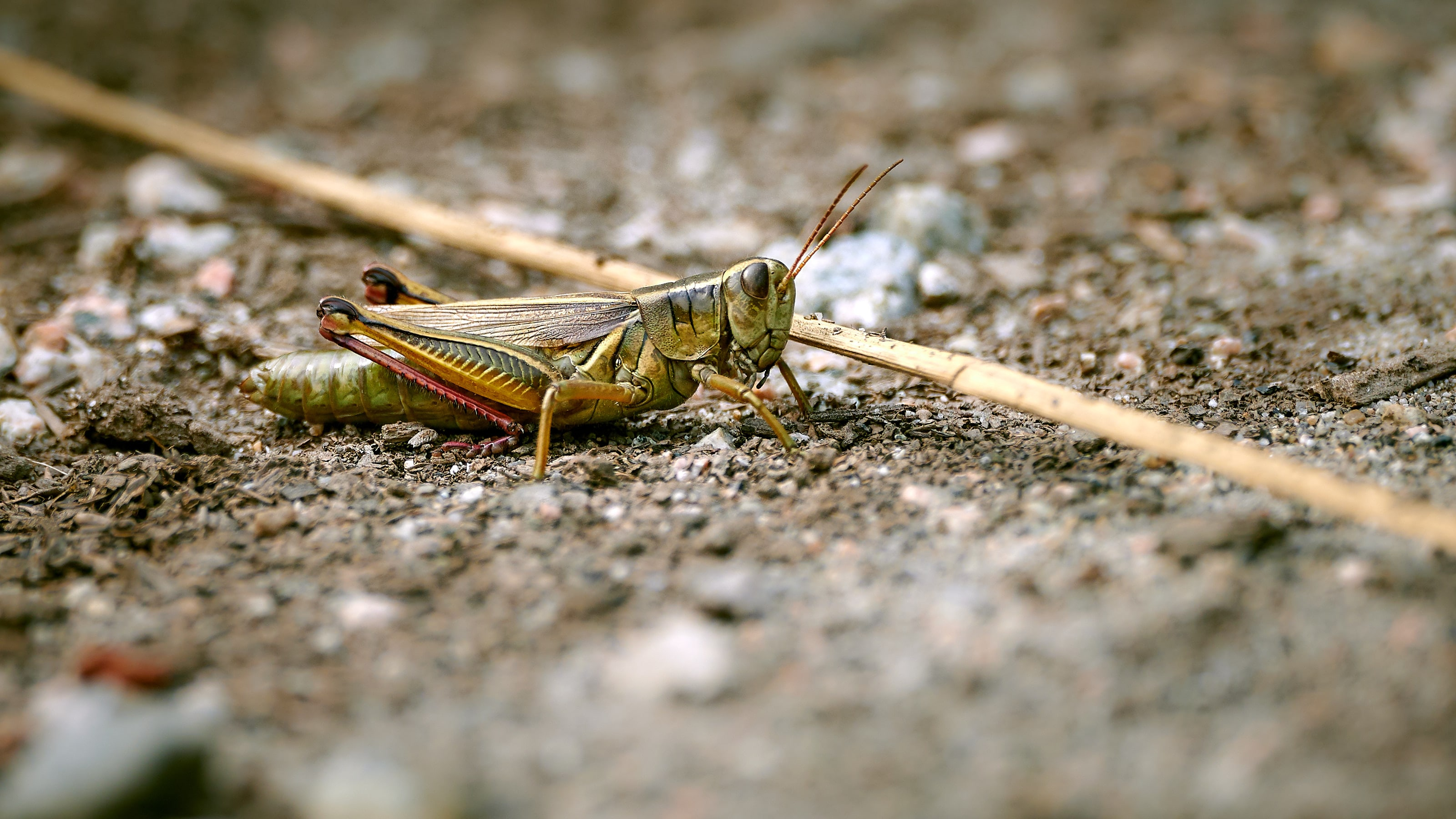 Grasshopper - Nikon Z7 and Nikkor 500mm f/5.6 PF VR